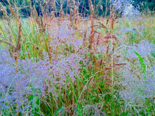 lavendergrasses:web