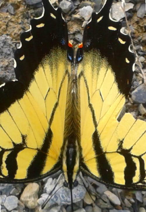 swallowtail:web