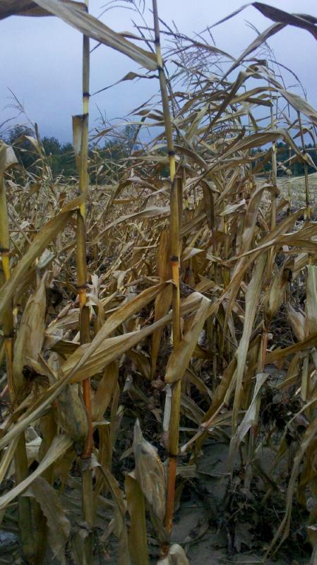 corn:web