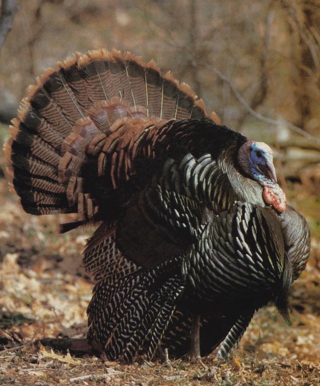 turkeymale