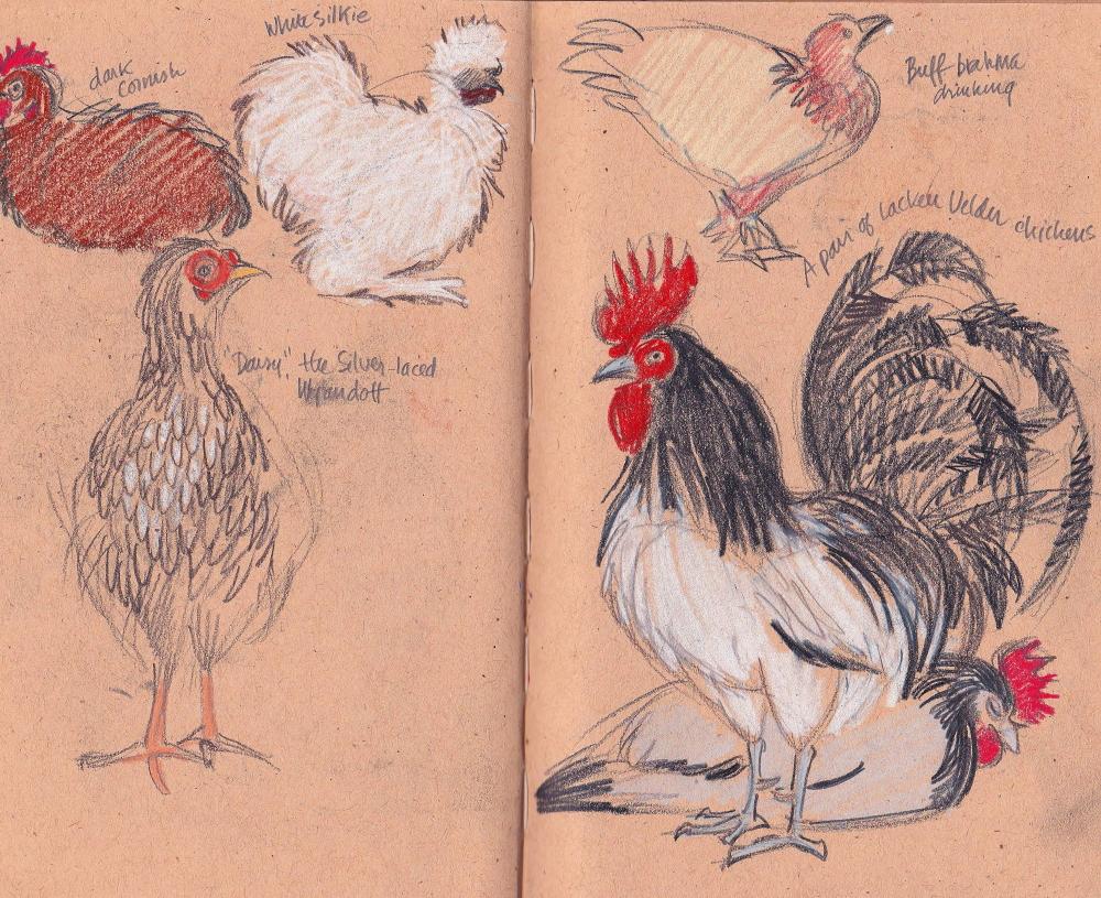 chickensweb