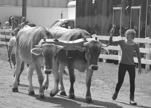 cass.oxen.parade